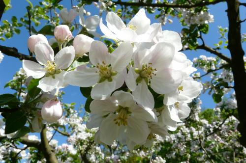 jabłonie na naszej działeczce ... #działka