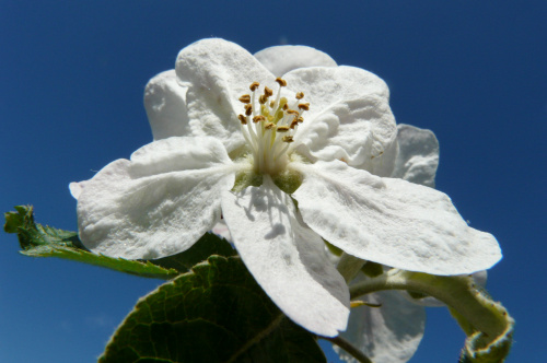 """...""""Świat nie jest taki zły , niech no tylko zakwitna jabłonie ... """" #działka"""
