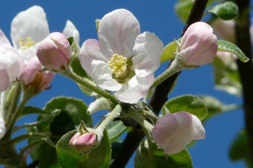 """... """" świat nie jest wcale zły - niech no tylko zakwitną jabłonie"""" ... #działka"""