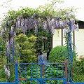 glicynia (wisteria), jak kto woli ... #kwiaty #pnącza #glicynia #wisteria #ogród