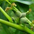 ...będą orzechy ... #kwiaty #owoce #orzechy #drzewa #makro #ogród
