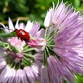 moje robalki na mojej działce #cebule #kwiaty #robaczki #makro #ogród #chrząszcze