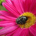 moje robalki na mojej działce #kwiaty #makro #ogród #robaczki #chrząszcze