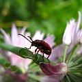 moje robalki na mojej działce #cebule #chrząszcze #makro #ogród #robaczki #kwiaty