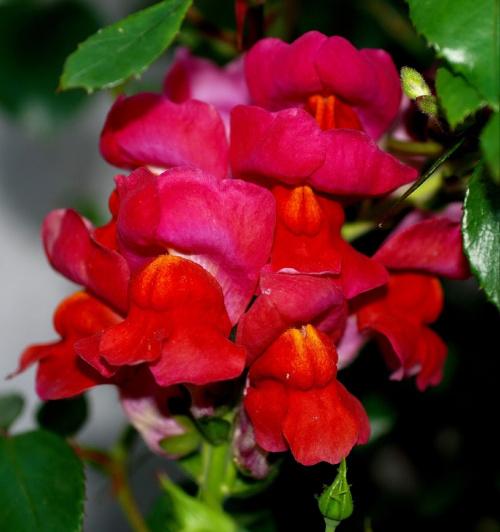 #kwiaty #LwiePaszcze #ogrody