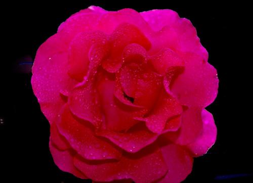 #kwiaty #roze #ogrody