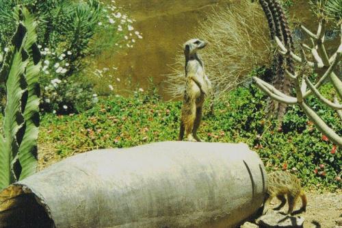 Skan z odbitki. Surykatki są bardzo zabawne, stałam chyba z godzinę i patrzyłam, co wyrabiają :) #zwierzęta #fauna