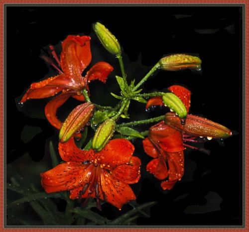 ciagle nowe i nowe ukochane moje Lilie:) #kwiaty #lilie #ogrody #alicjaszrednicka