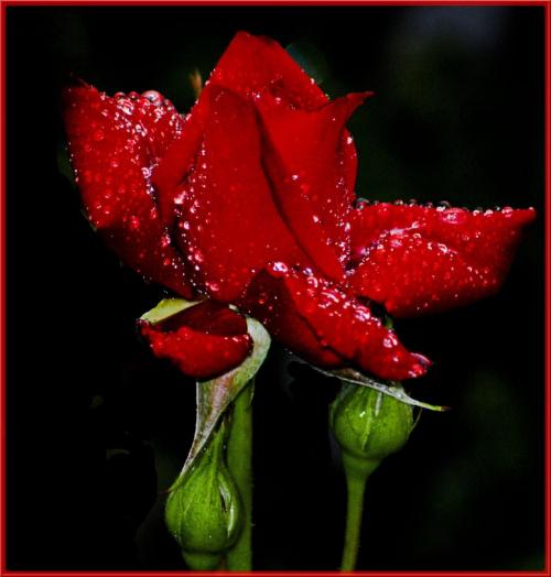 Moje roze #kwiaty #ogrody #alicjaszrednicka #roze