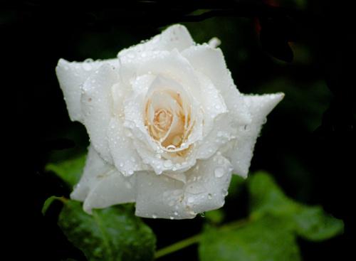 Moje roze #kwiaty #ogrody #roze #alicjaszrednicka