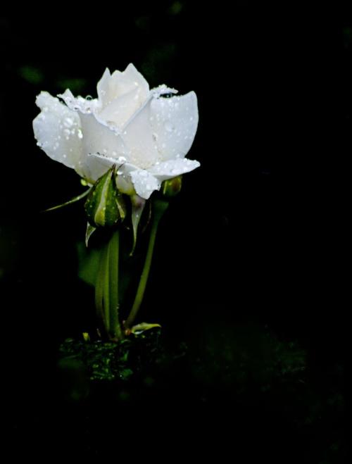 Moje roze #kwiaty #ogrody #roze