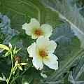 Lato,czerwiec,ogrod-roze #oset #bratki #jukka #piwonie #kwawnik #cynia