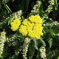 Lato,czerwiec,ogrod #oset #bratki #jukka #piwonie #krwawnik #cynia