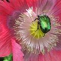 makowi goście ... #kwiaty #makro #ogród #żuczki #owady #chrząszcze