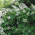 Lato,czerwiec,ogrod #oset #bratki #jukka #piwonie #kwawnik #cynia