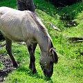 koń biłgorajski