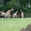 Maja w Zoo w Ostravie #żyrafa #zoo #ostrava