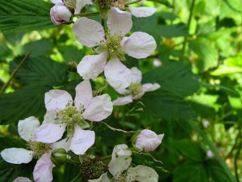 kwiaty jeżyny leśnej #kwiaty #las #przyroda