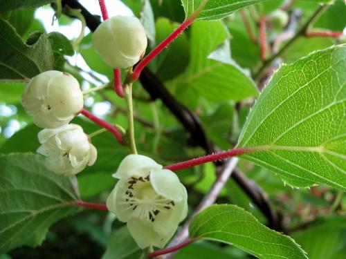 kwiat aktinidii pstrolistnej (kiwi) #kwiaty #pnącza #aktinidia #kiwi #makro #ogród