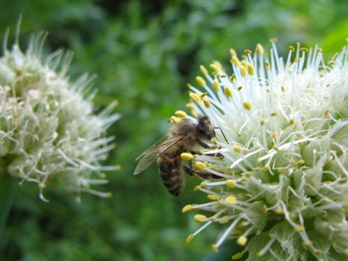 ... bardzo pracowita ... na cebuli ... #owady #pszczoły #ogród #cebula #makro #kwiaty