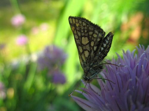 ... udało mi się ... #motyle #makro #cebula #kwiaty #ogród