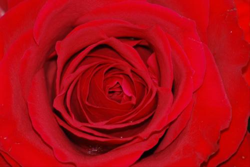 Przymykajac beznadziejny temat niewarty utraty zdrowia eksponuje moja roze. #kwiaty #ogrody #roze #macro