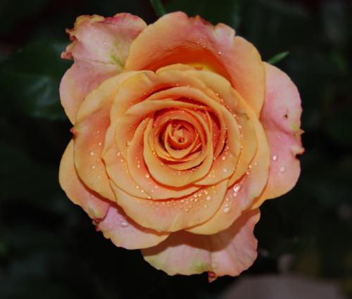 Przymykajac beznadziejny temat niewarty utraty zdrowia eksponuje moja roze. #kwiaty #ogrody #roze