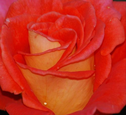 Roza #kwiaty #ogrody #roze #macro