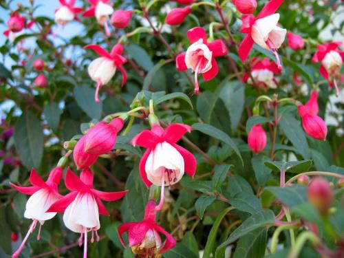 u matuli w ogródku #kwiaty #fuksja #ułanka #WDomu