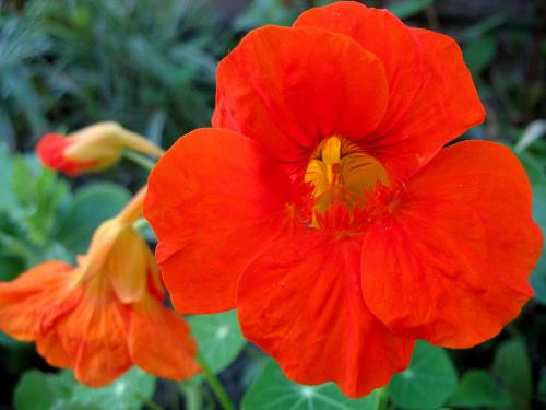u matuli w ogródku #kwiaty #nasturcja #ogród #przyroda