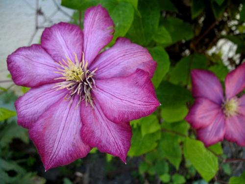 u matuli w ogródku #kwiaty #pnącza #clematisy #powojniki #ogród
