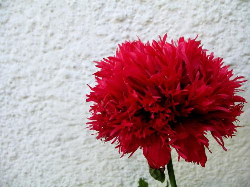 u matuli w ogródku #kwiaty #maki #ogród #przyroda
