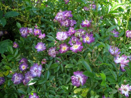 u matuli w ogródku #kwiaty #róże #ogród