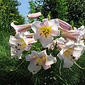 Spacerkiem po ogrodzie #WidokiWOgrodzie #krzewy #hortensje #lilie #rumianki #makówki #osty #krwawnik