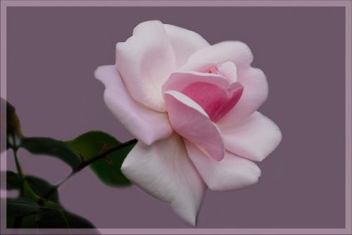Roza z mojego ogrodka dla wszystkich odwiedzajacych moja strone:)) #kwiaty #macro #roze