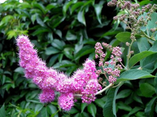 tawuła #krzewy #kwiaty #ogród #tawuła #lato