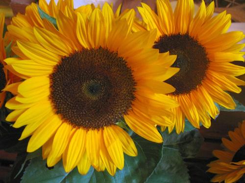słonecznik #słoneczniki #kwiaty
