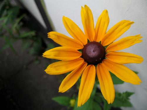 rudbekia #rudbekie #ogród #kwiaty