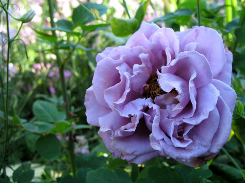ta róża zakwita trochę później niż wszystkie inne ... **** ulub. cleo ****