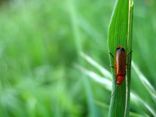 taki sobie robalek ... znaleziony w trawie ... #chrząszcze #makro #owady