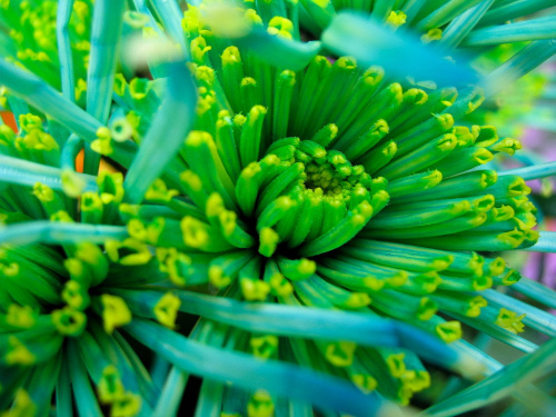 margaretka z kwiaciarni (sztucznie farbowana) #kwiaty #chryzantemy #margaretki