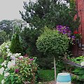 zakatki ogrodu, teraz clematis pnie sie po drzewku bzu :) #hortensje #clematis #ogrod #sierpien