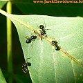 #mrówki #liść #lato