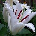 o poranku :) ....no i jak nie kochac lilii :) #lilie #ogrod #poranek #sierpien #kwiaty #cudo