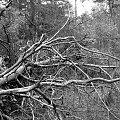 Przewrócone drzewo #przewrócone #drzewo #las #przyroda #natura #fauna #czerń #biel