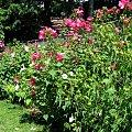 Spacerkiem po ogrodzie #kaczki #ptaszek #osy #żółwie #osty #cleome #hortensje #jarzebina #sloneczniki #staw #inne