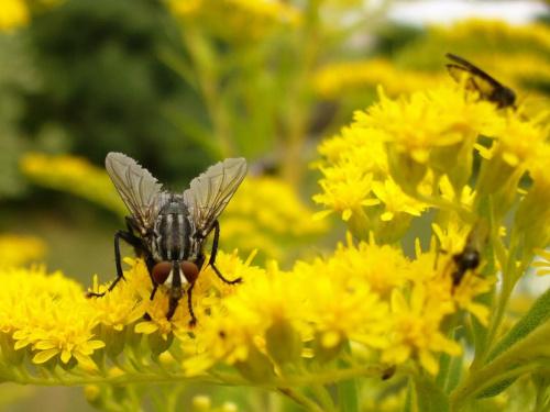 Mucha #owady #robale #robaki #przyroda #natura #mucha