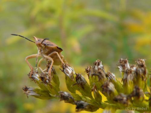 Pluskwiak #pluskwiak #robal #chrząszcz #owady #przyroda #natura #flora #fauna #makro
