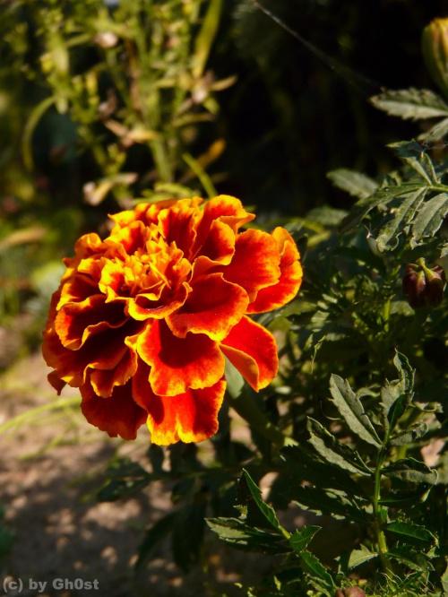 Aksamitka #rośliny #ogród #kwiaty #botanika #natura #flora