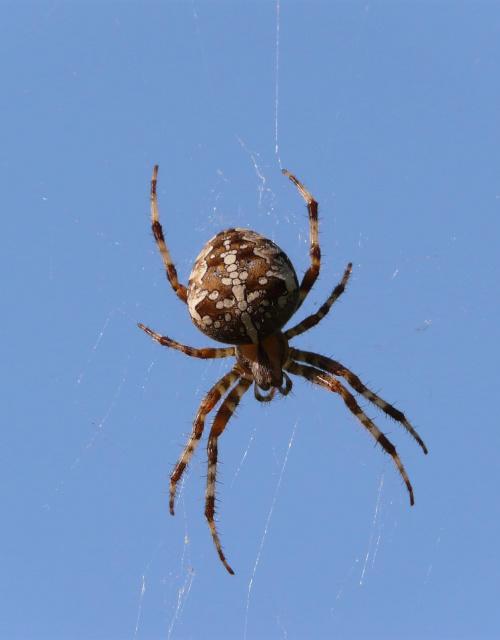 Krzyżak, tym razem byczy ;) #pająki #owady #zwierzęta #fauna #przyroda #krzyżak